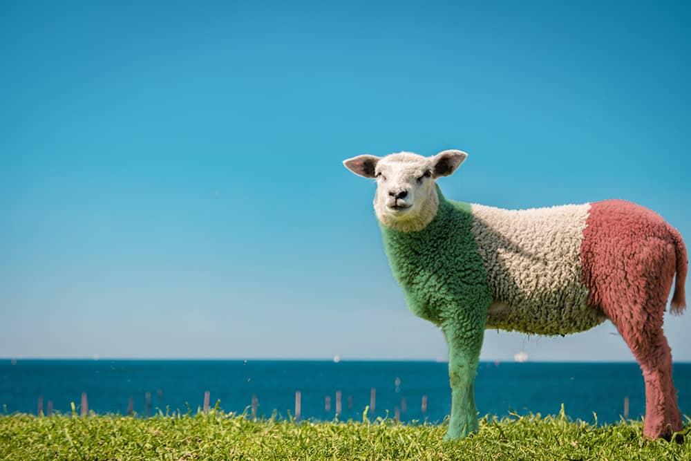 Man sieht ein Schaf, das Richtung Kamera schaut. Das Fell ist gefärbt, wie die Flagge von Italien